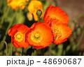ポピー 花 オレンジ色の写真 48690687