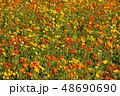 ポピー 満開 花の写真 48690690