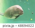 ジュゴン 48694022