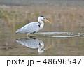 サギ アオサギ 池の写真 48696547
