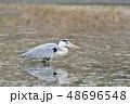 サギ アオサギ 池の写真 48696548