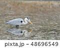 サギ アオサギ 池の写真 48696549