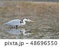 サギ アオサギ 池の写真 48696550