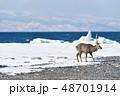 エゾシカ 流氷 冬の写真 48701914