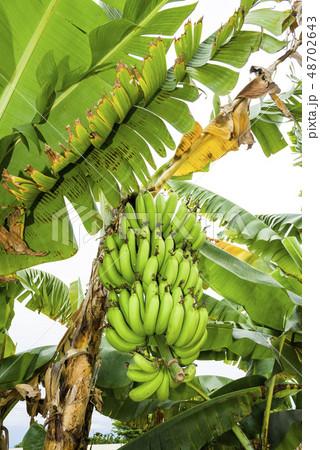 Banana tree in fields 48702643