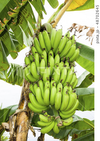 Banana tree in fields 48702645