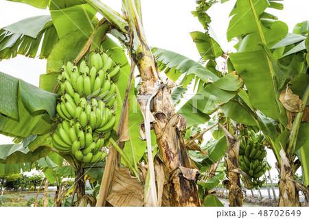 Banana tree in fields 48702649
