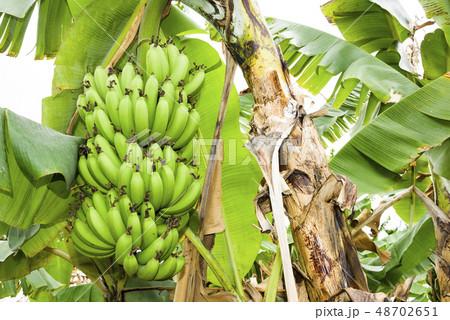 Banana tree in fields 48702651