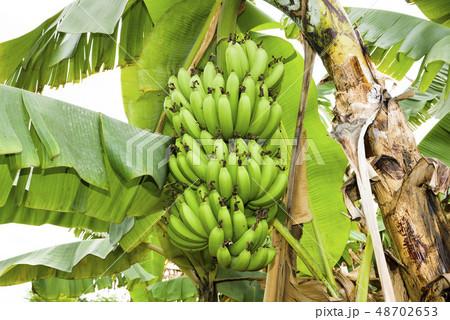 Banana tree in fields 48702653