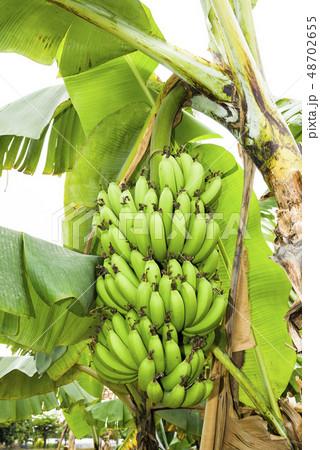 Banana tree in fields 48702655