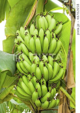 Banana tree in fields 48702658