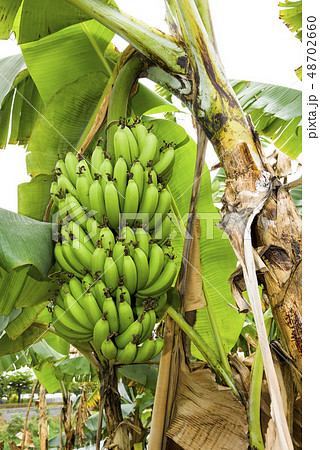 Banana tree in fields 48702660