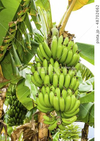 Banana tree in fields 48702662