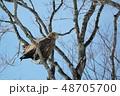 オジロワシ ワシ 野鳥の写真 48705700