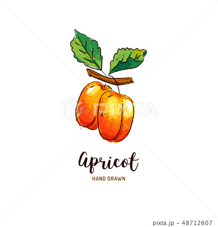 Apricot drawing Vector hand drawn apricots, Watercolor colorful apricots. Vector icons 48712607