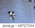 鳥 金黒羽白 池の写真 48727334