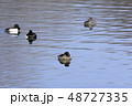 鳥 金黒羽白 池の写真 48727335