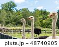 ダチョウの放牧 / 北海道ニセコの風景 48740905