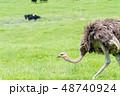 ダチョウの放牧 / 北海道ニセコの風景 48740924