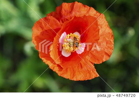 花 ケシ 春の花 48749720