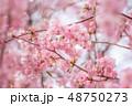 河津桜 桜 花の写真 48750273