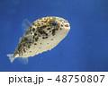 ハリセンボン 幼魚 48750807