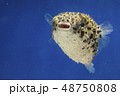 ハリセンボン 幼魚 48750808