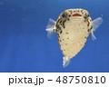 ハリセンボン 幼魚 48750810