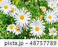 マーガレット 花 植物の写真 48757789