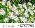 マーガレット 花 植物の写真 48757793