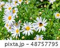 マーガレット 花 植物の写真 48757795