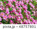マーガレット 花 植物の写真 48757801