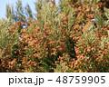 スギ花粉 晴れ 杉の写真 48759905