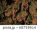 スギ花粉 杉 花粉の写真 48759914