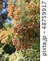 スギ花粉 晴れ 杉の写真 48759917