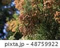 スギ花粉 スギ 木の写真 48759922
