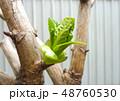紫陽花新芽 48760530