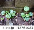 ユキノシタ 48761083