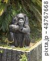 チンパンジー 48767668