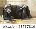 チンパンジー リラックス 48767810