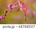 紅梅と花アブ 48768507