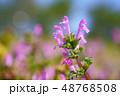 ホトケノザ 48768508