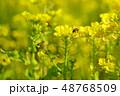 菜の花を飛び回るアブ 48768509