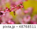 紅梅に花アブ 48768511