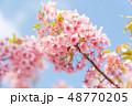 桜 花 春の写真 48770205