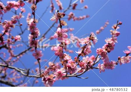 美しい春のピンク色の梅の花と青空、開花 48780532