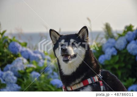 紫陽花と黒柴 48786011