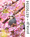 桜 鵯 鳥の写真 48790594