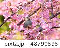 桜 鵯 鳥の写真 48790595