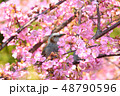 桜 鵯 鳥の写真 48790596